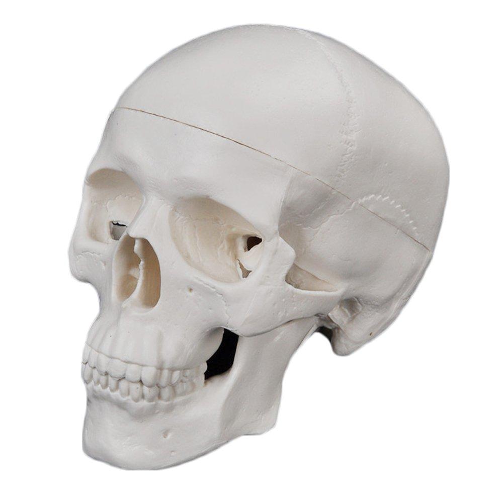 Skull model for drawing